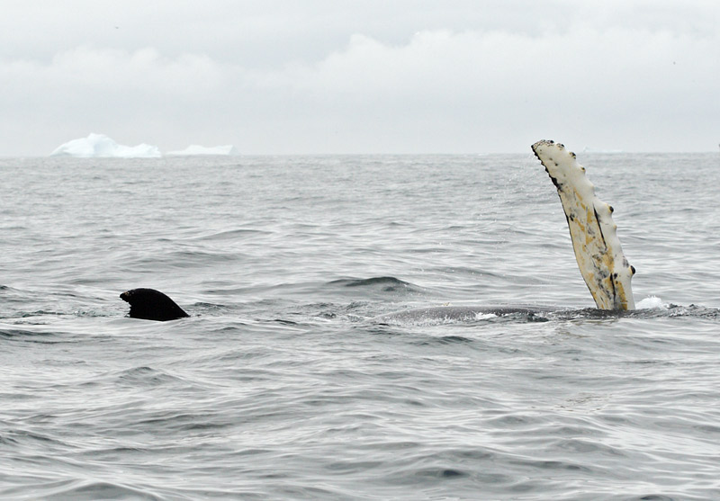 Humpback Whale, St. Anthony,