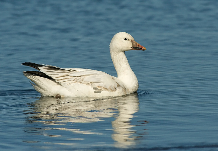 Snow Goose duck in water video pictures